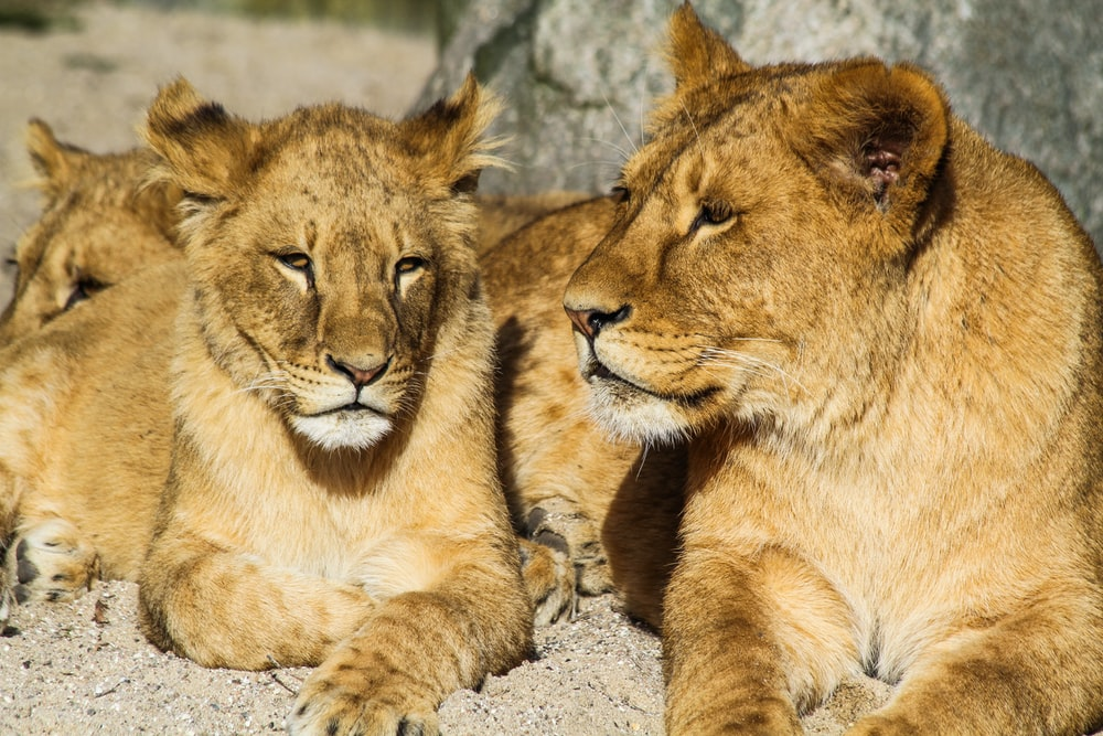 several lions