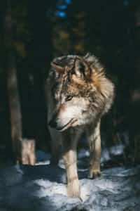The Wolves are Eating Me love stories