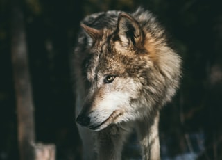 brown and white wolf
