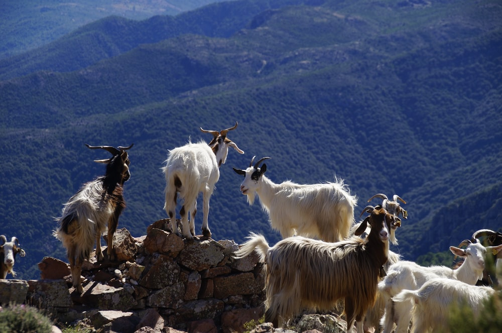 herd of goats on hill
