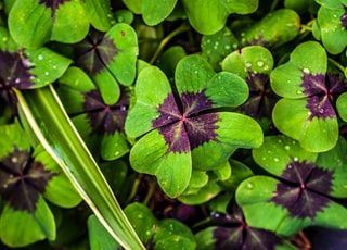 green-and-purple clovers