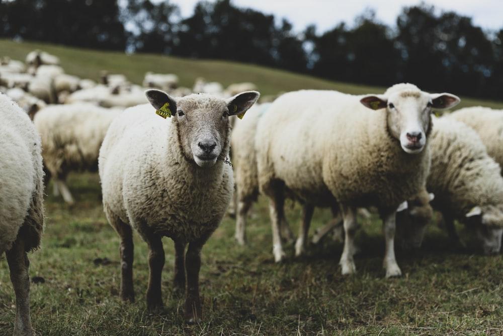 herd of white sheep on grass field