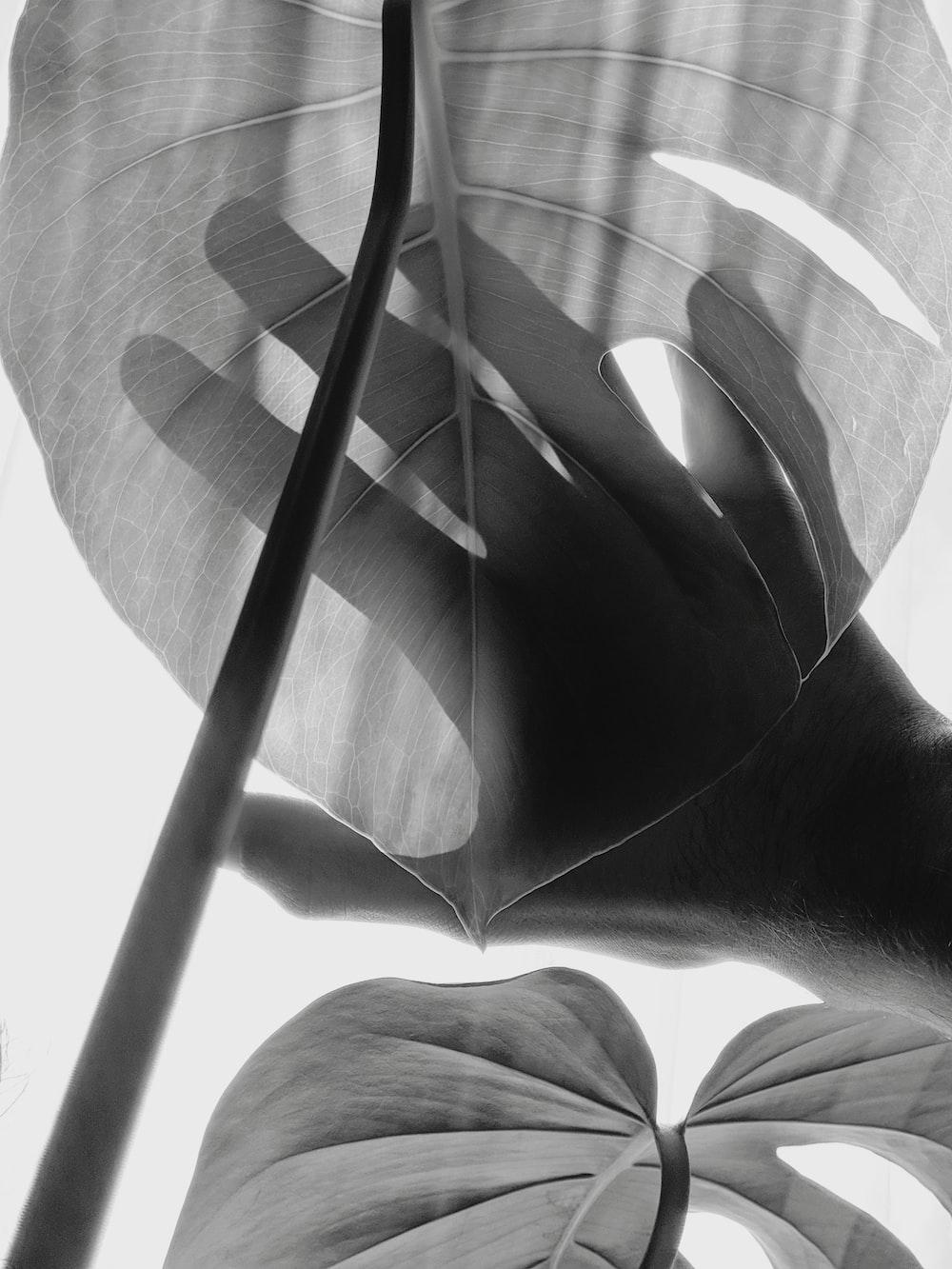 grayscale photo of elephant ear leaf