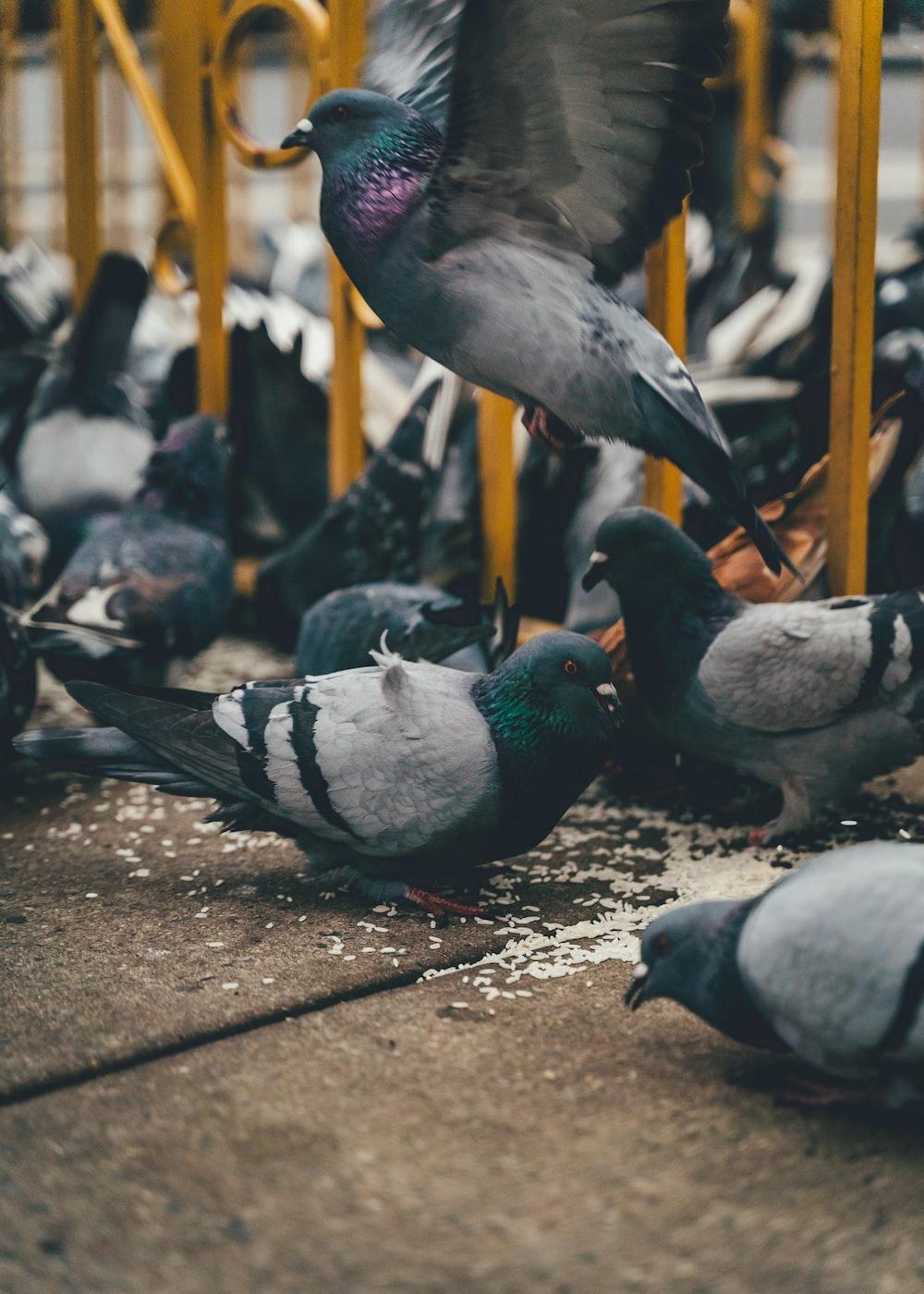 pigeons eating food