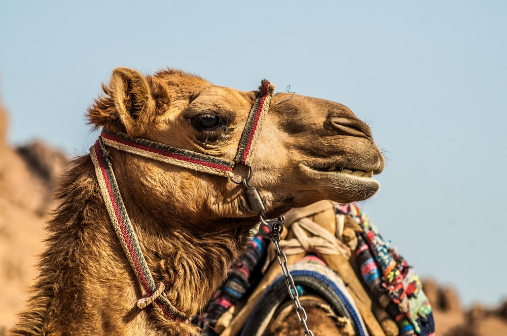 macro photography of brown camel
