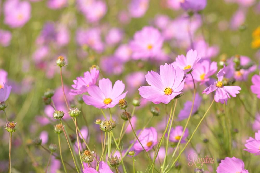 blooming purple cosmos flowers