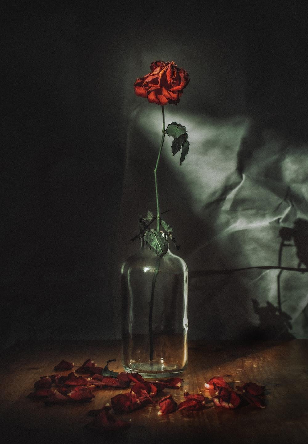red rose flower in vase