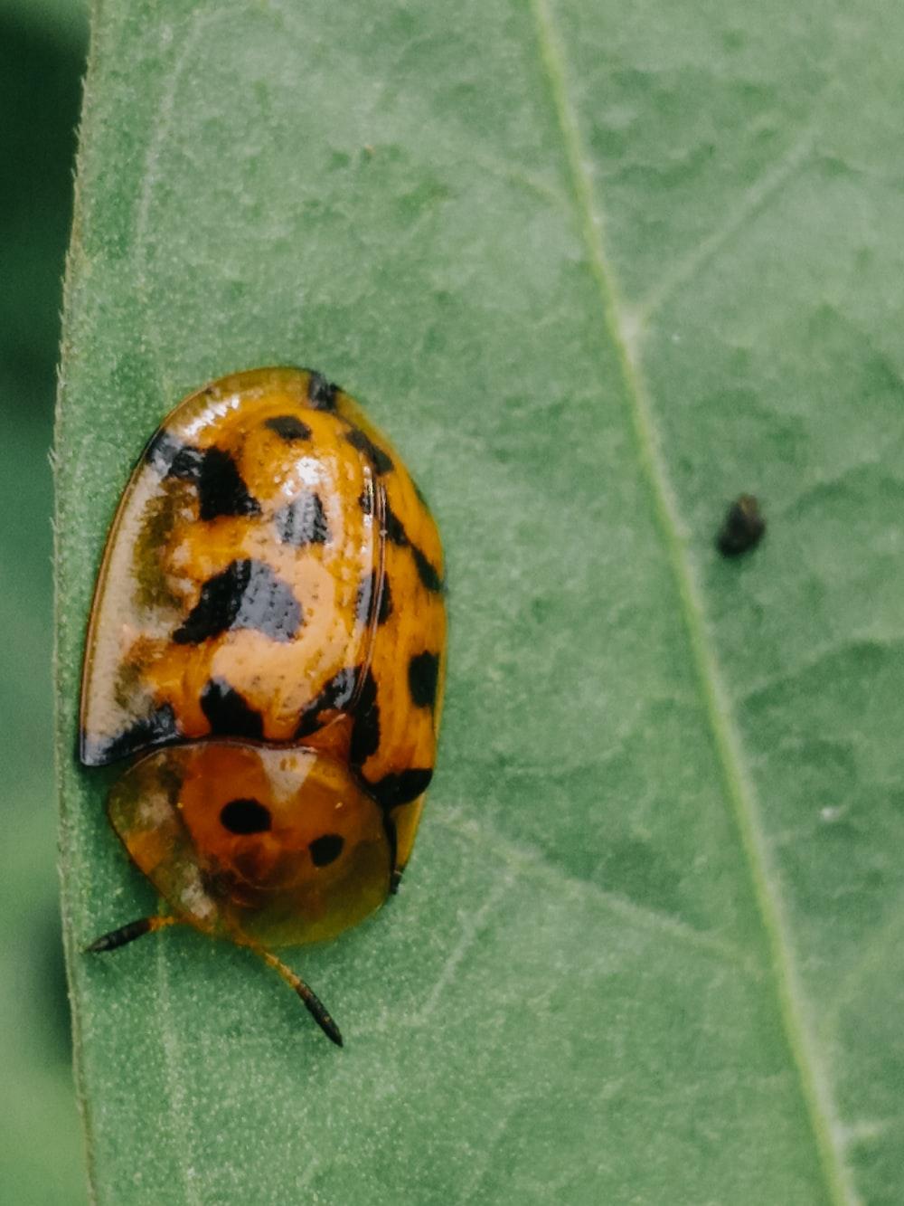 brown and black shield bug