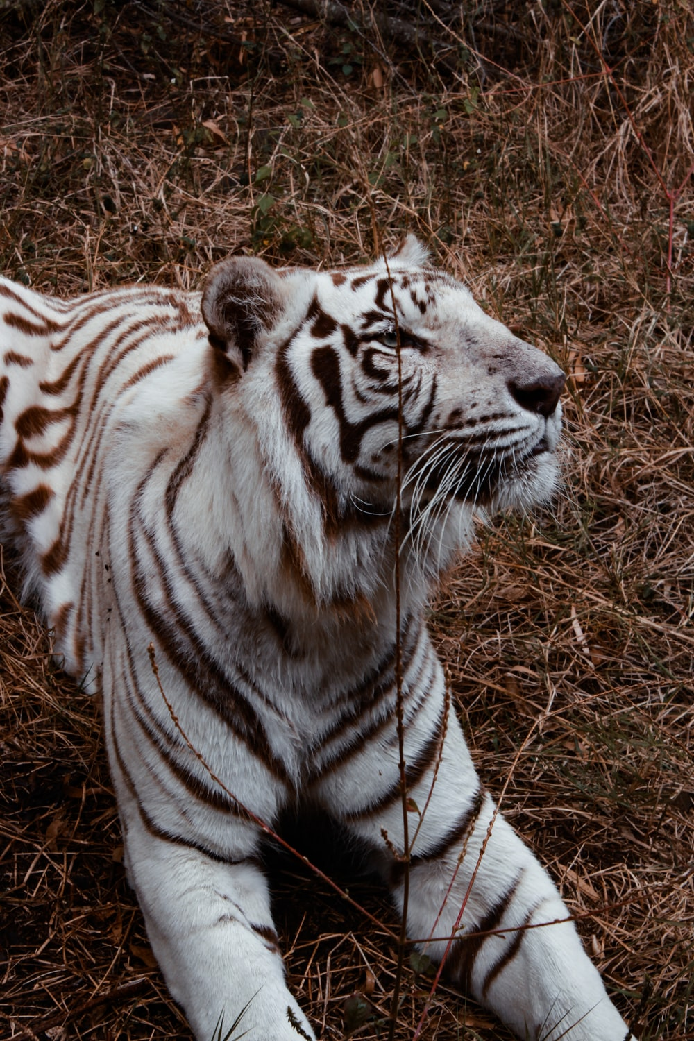 white and black tiger lying on grass