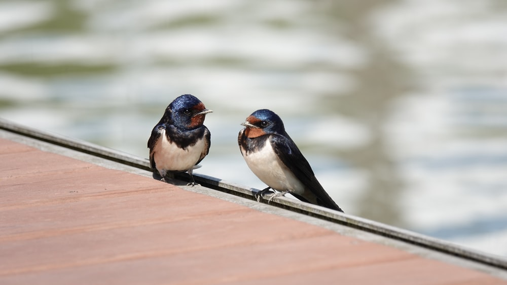 two white-black-blue birds
