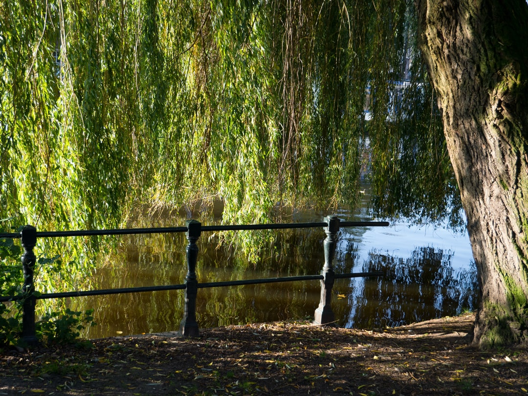 Free urban nature photo of Amsterdam city - a picture of a weeping willow tree - with its still green leaves -, standing along the borders of the canal in Amsterdam city. This image is showing early urban Fall in the Plantage district; free photo wallpaper by Fons Heijnsbroek, 30 September 2019, The Netherlands.