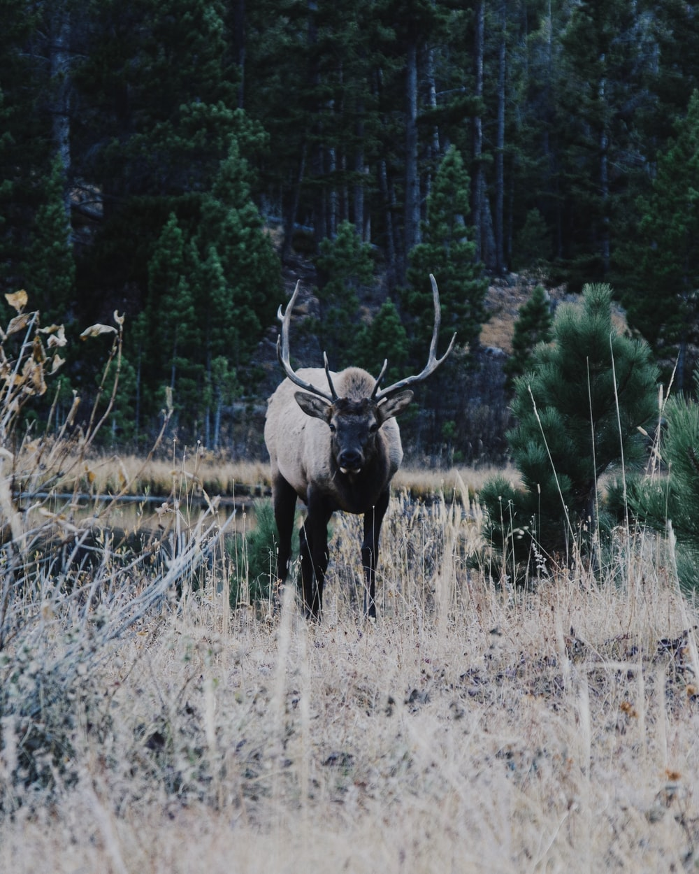 brown deer photograph