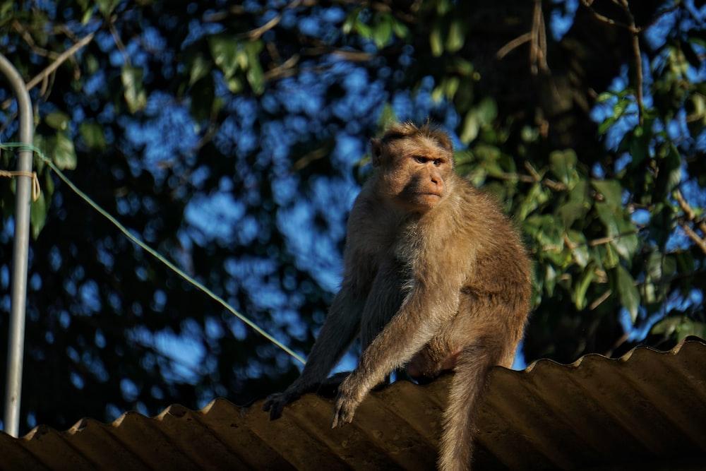 [photo of brown monkey
