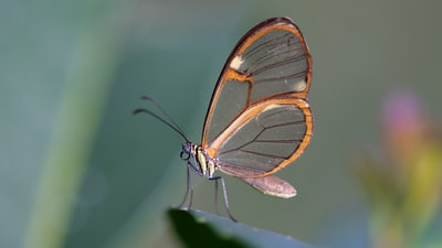 brown and clear butterfly
