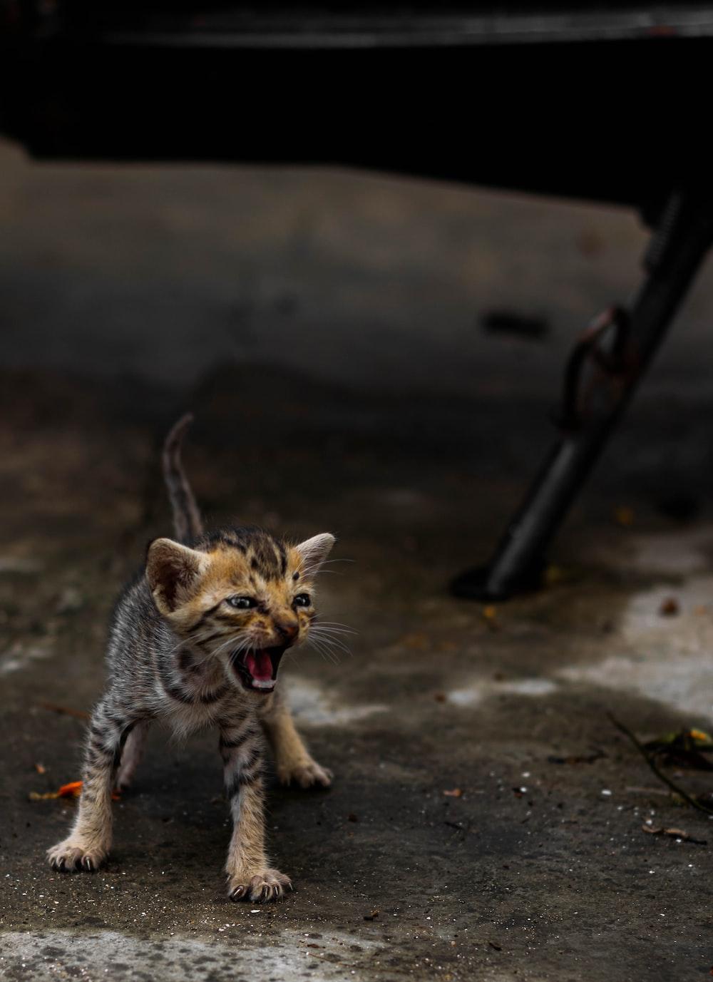 black and brown tabby kitten