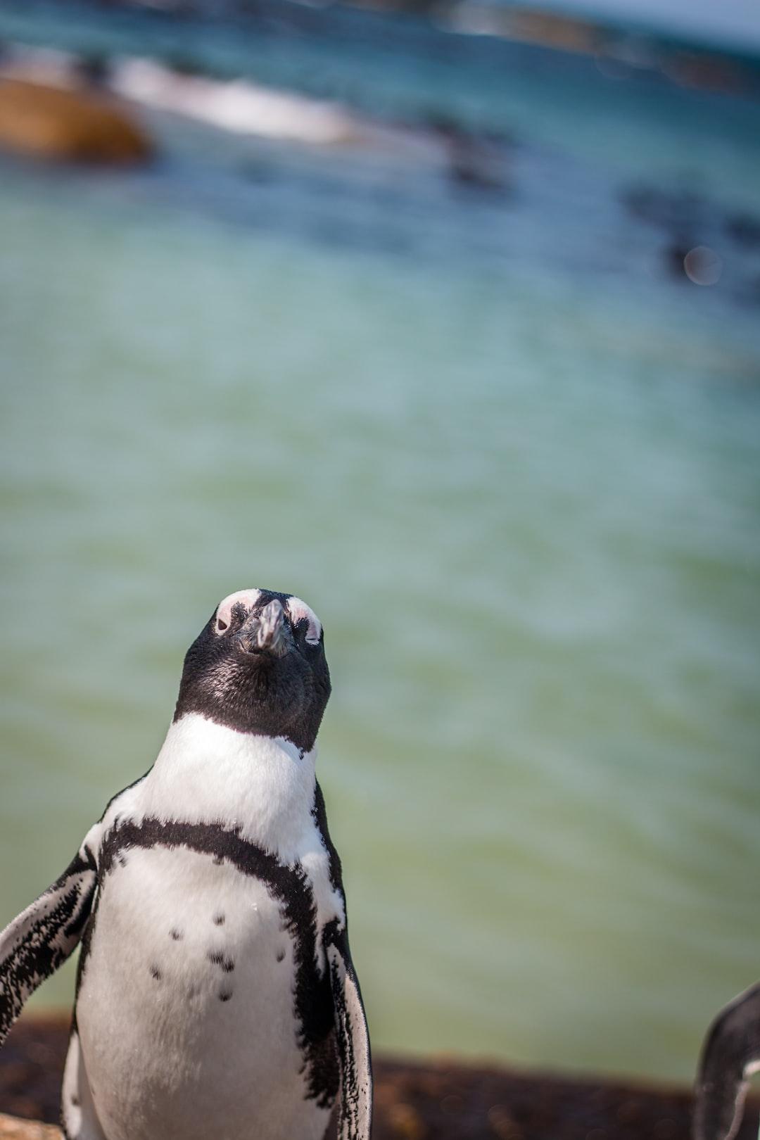 A nosy penguin