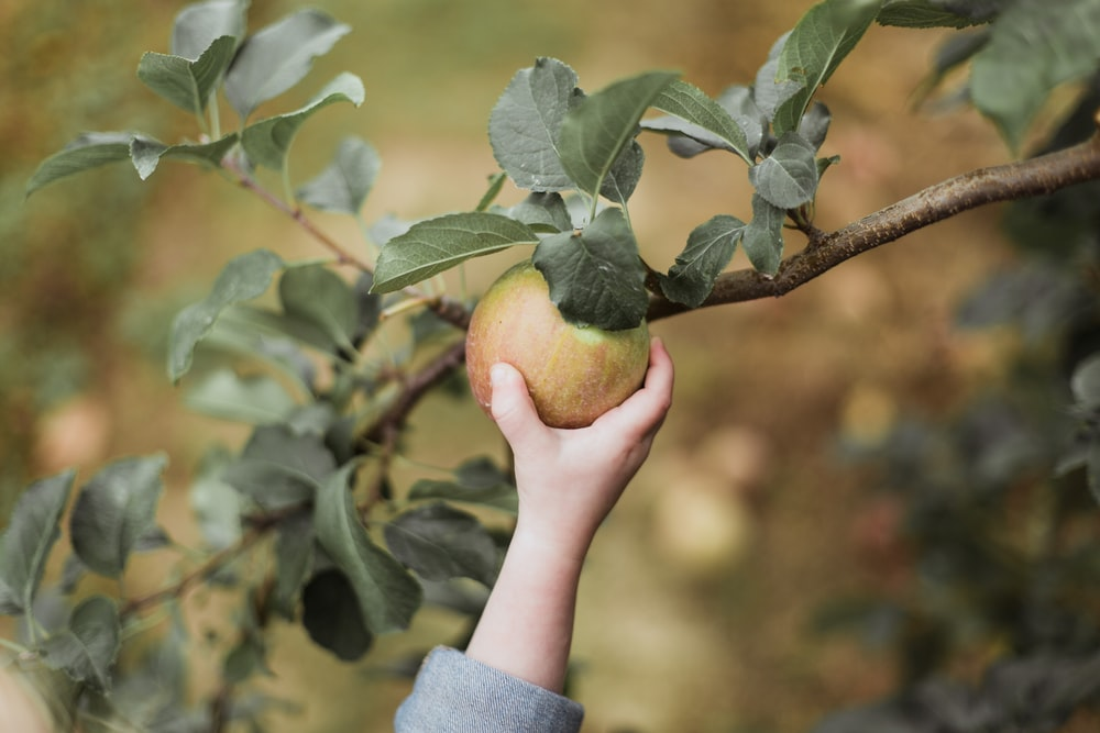 child picking an apple
