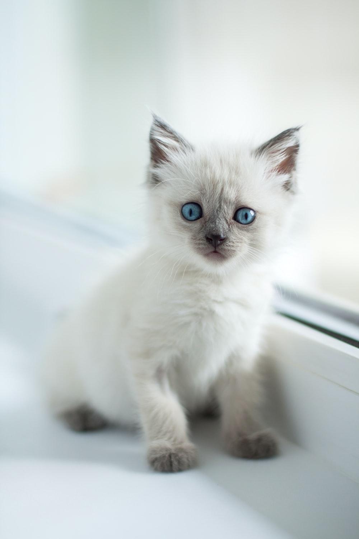 siamese kitten in macro photography