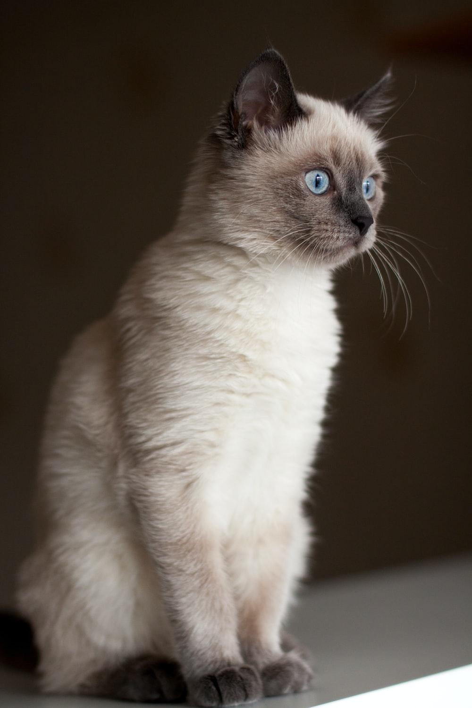 white siamese cat