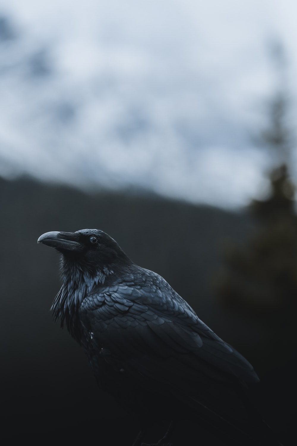 selective focus photography of black crow