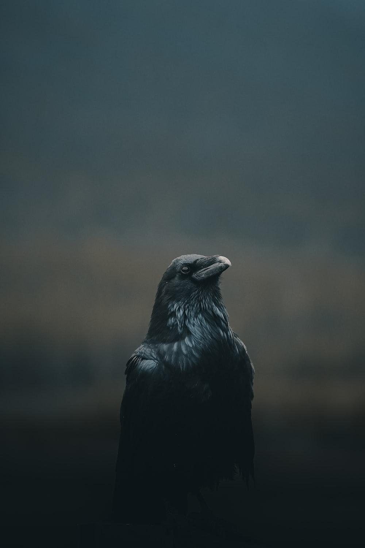 black bird close up photography