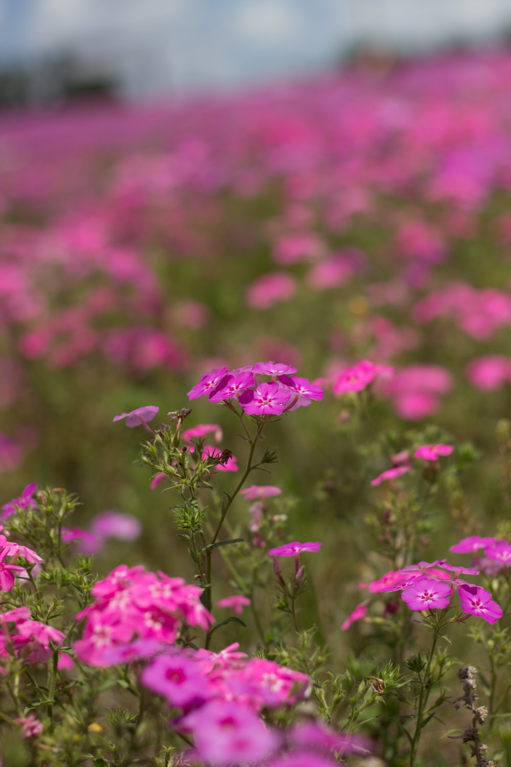 selective focus photography of pink petaled flowers during daytime