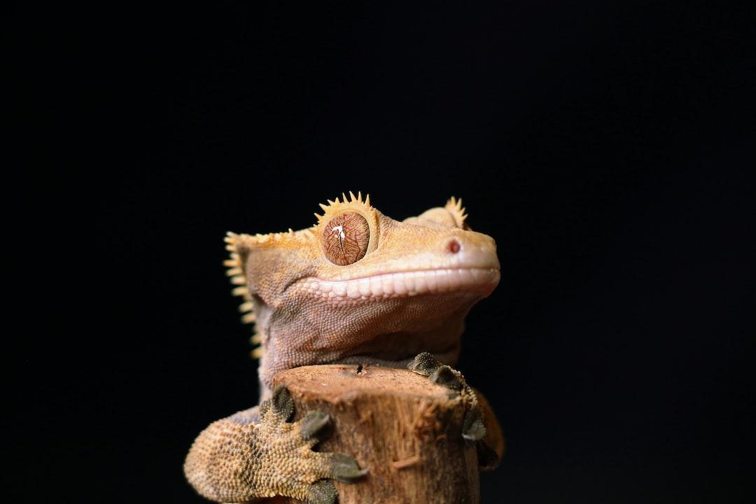 Gecko Lookout!