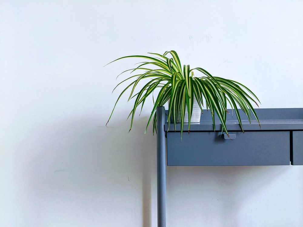 green leaf plant in pot, spider plant