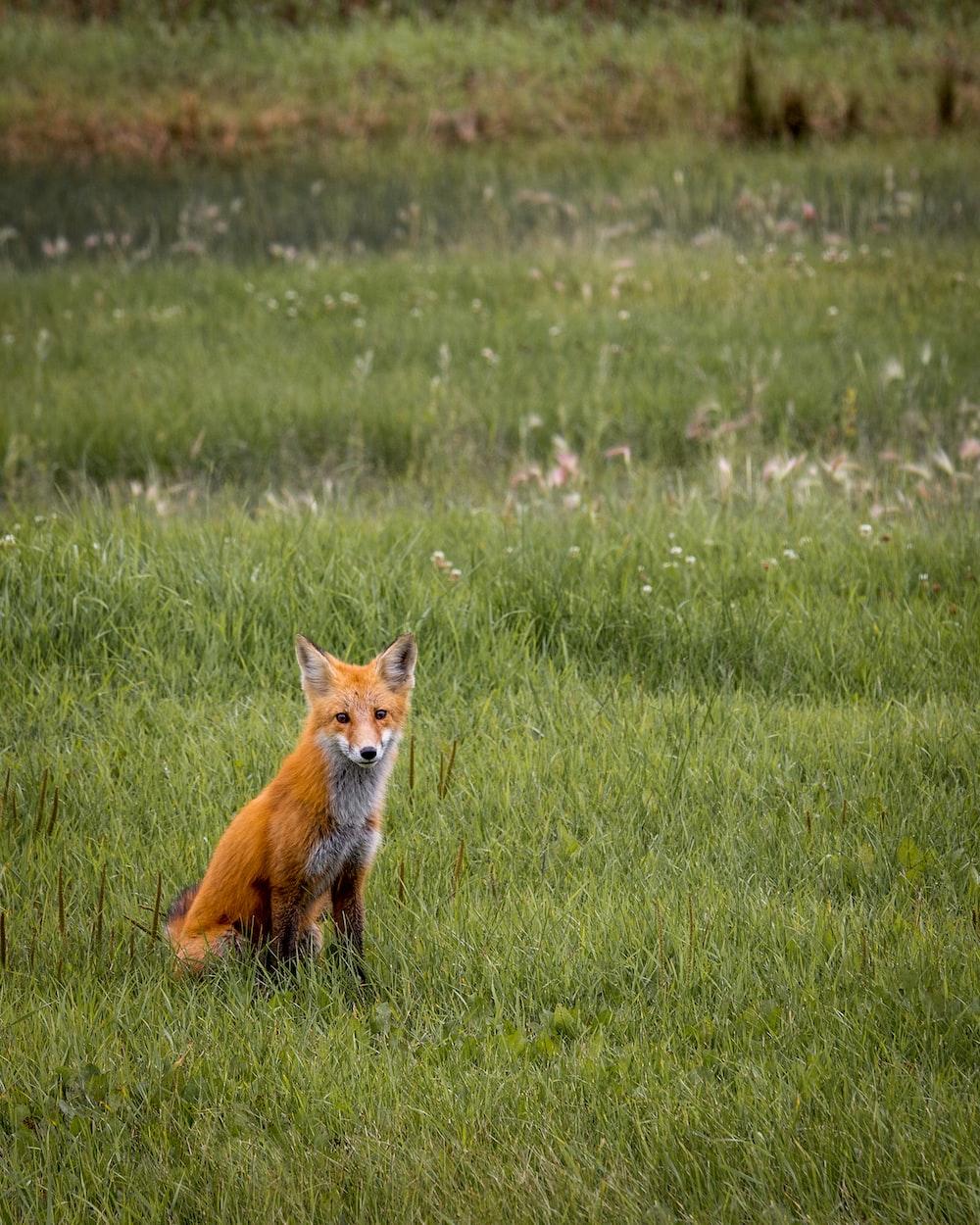 red fox sitting in green grass field