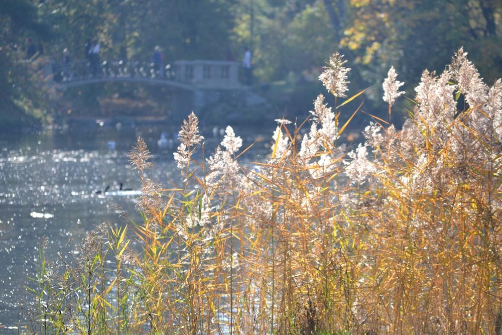white petaled flower near lake and bridge