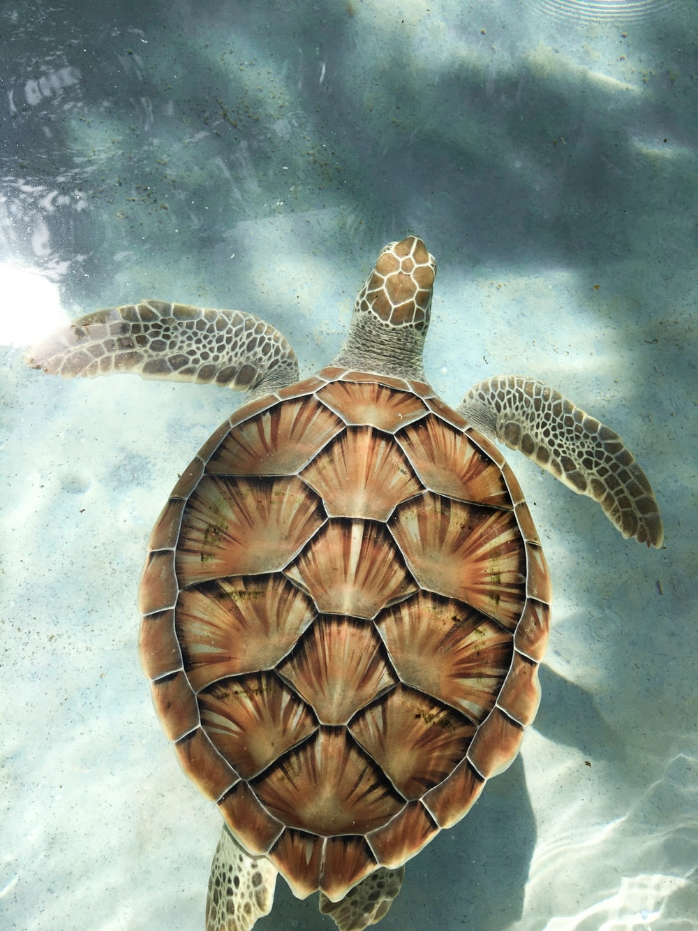 brown turtle swimming in water