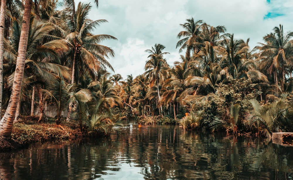 coconut trees beside river