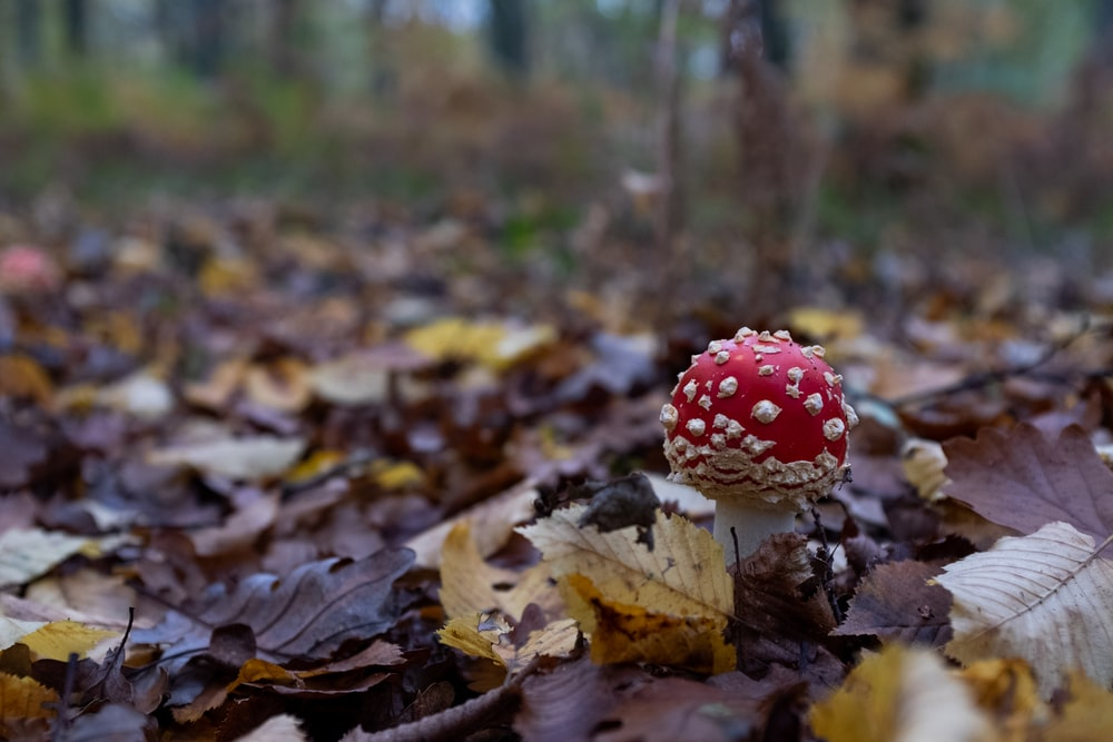 red, white, and brown mushroom