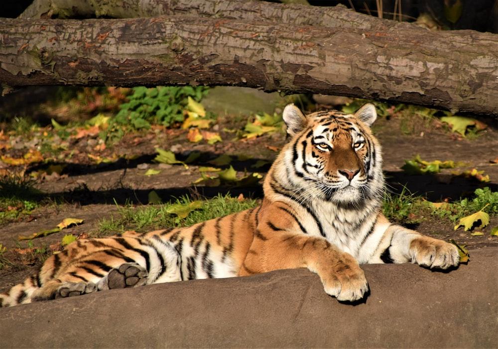 brown tiger lying on ground during daytime