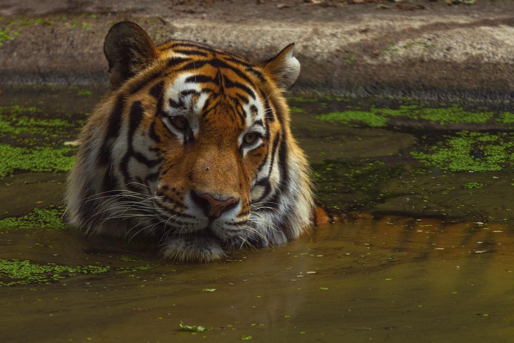 tiger photograph