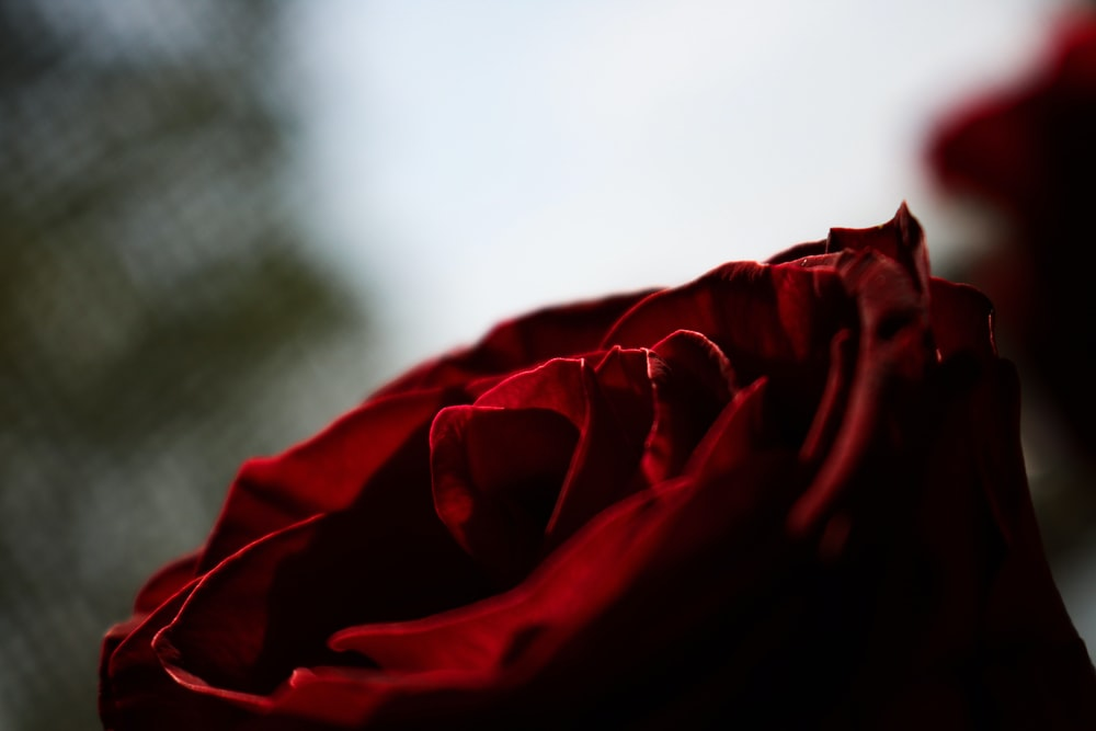 close-up photography of rose