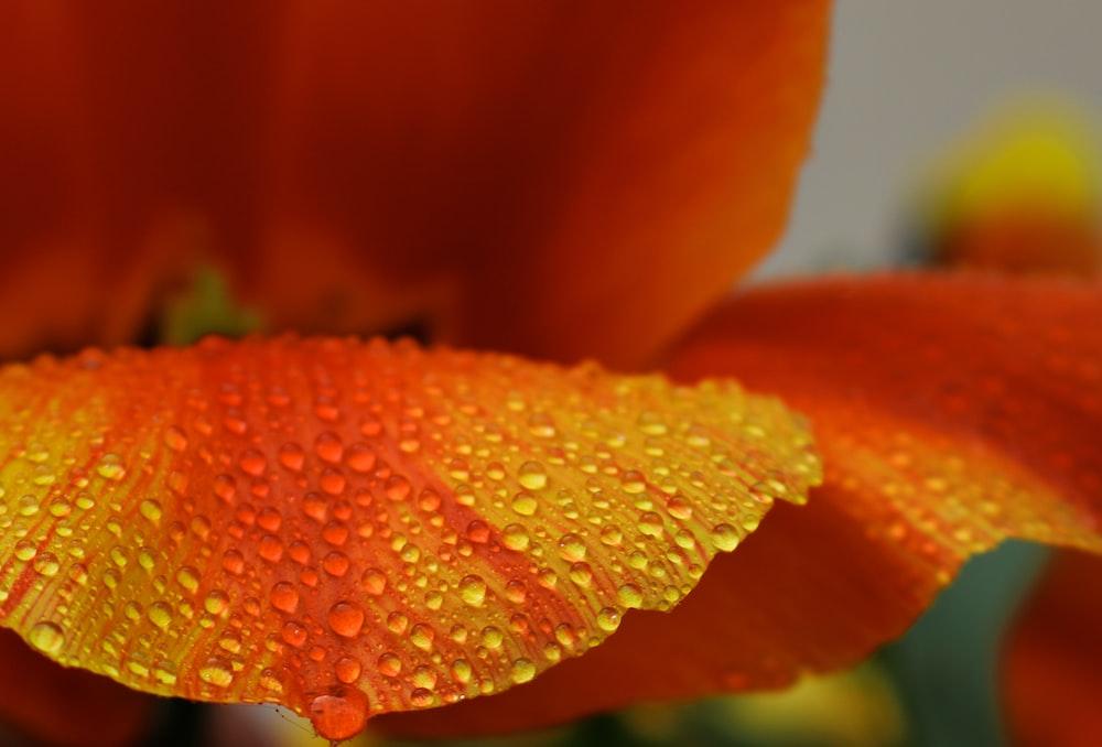 yellow and orange-petaled flower