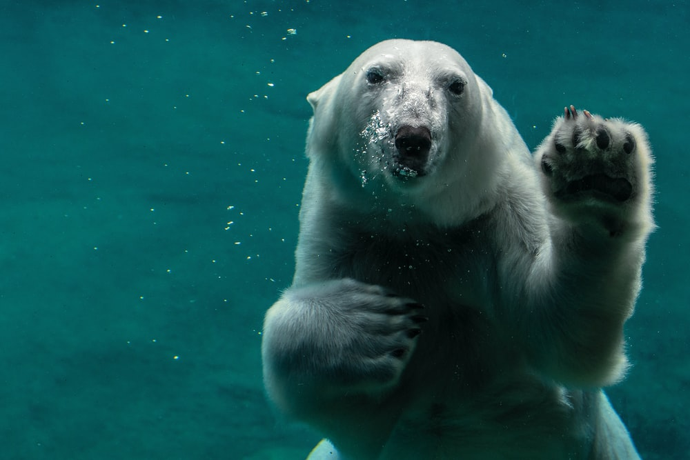 white polar bear swimming