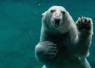 white polar bear swimming