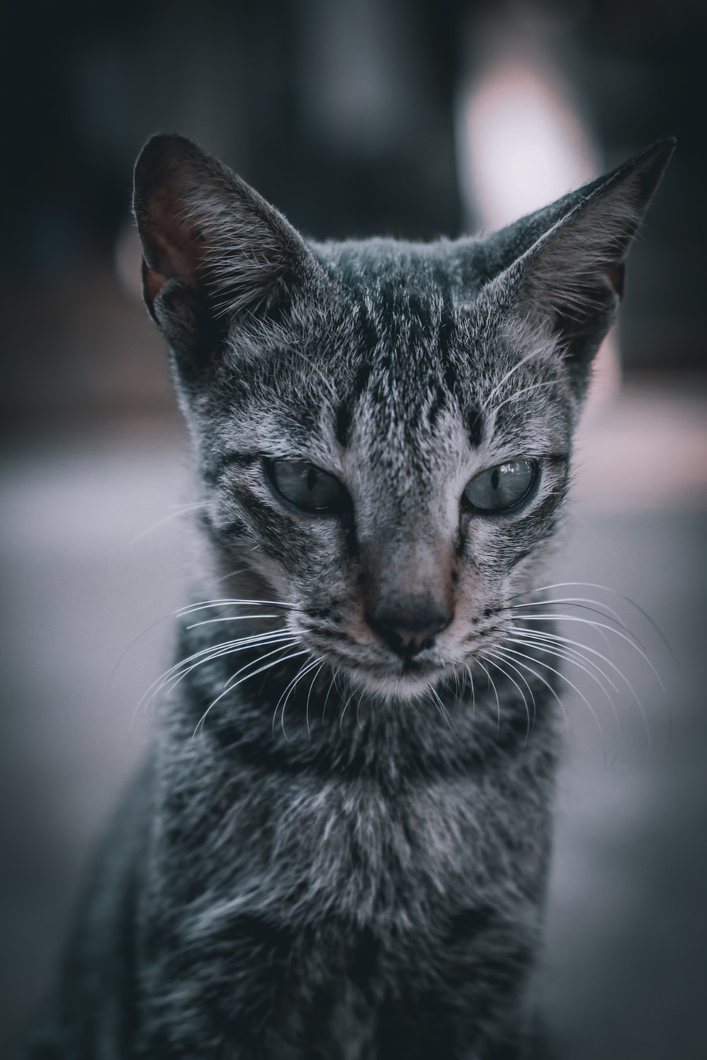 black and gray tabby cat in macro photography