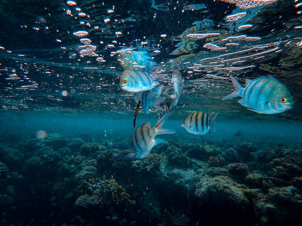 grey and black striped fish underwater