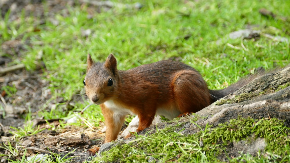 brown squirrel on the ground