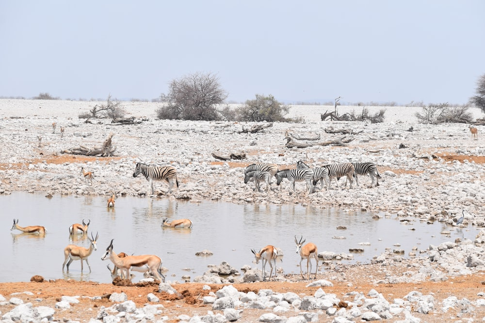 group of zebra and deer near body of water