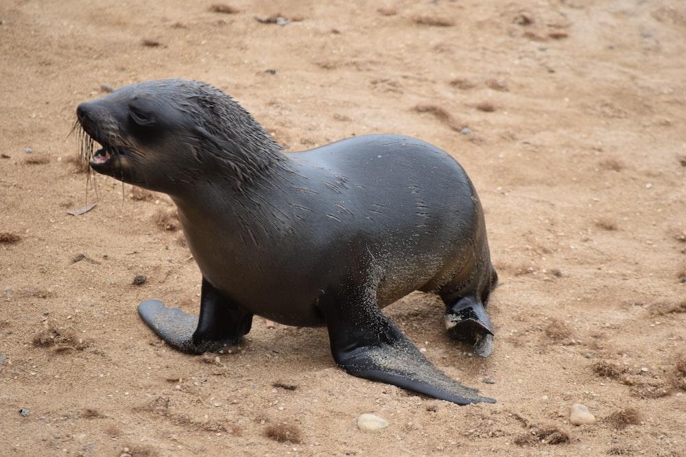 black seal on sand