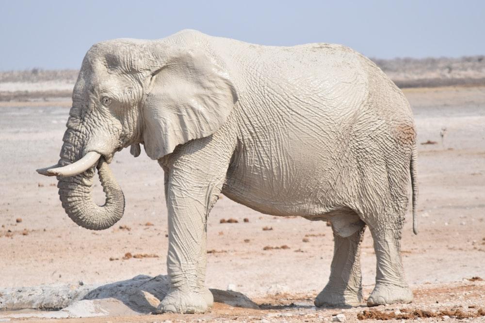 white elephant standing during daytime