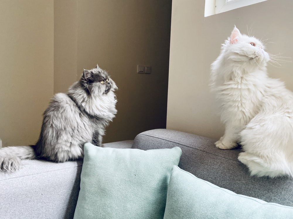 two white and gray cat on sofa