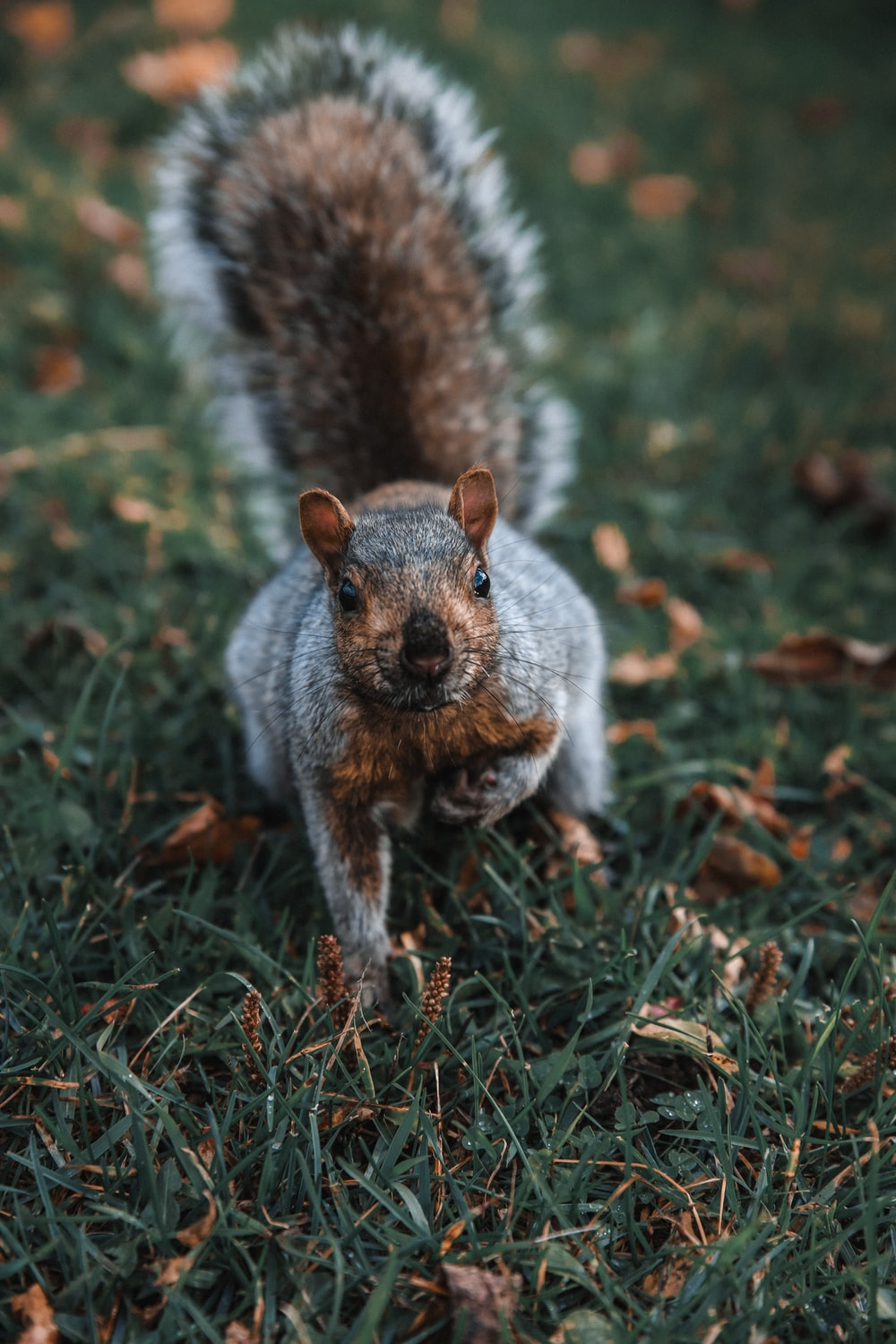 brown squirrel crawling on grass