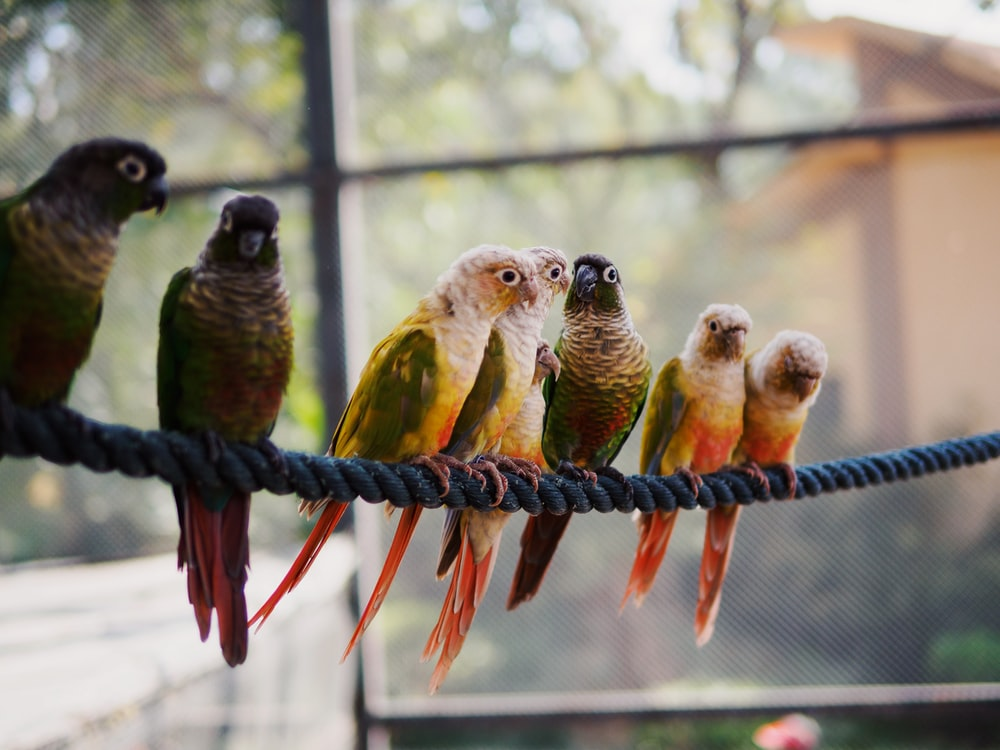 seven assorted-color parrots on rope in macro photography