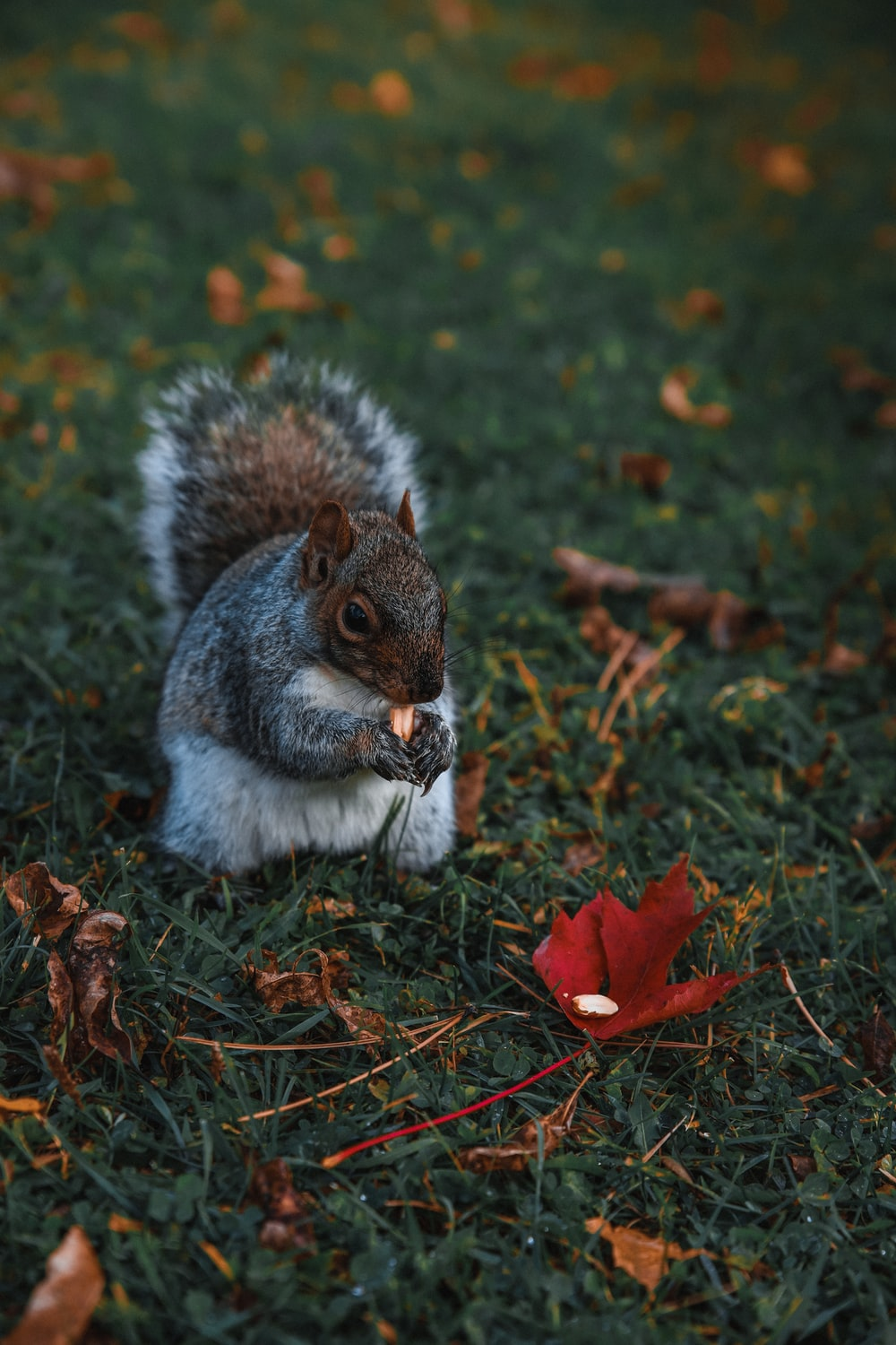 grey and white squirrel on green grass during daytime