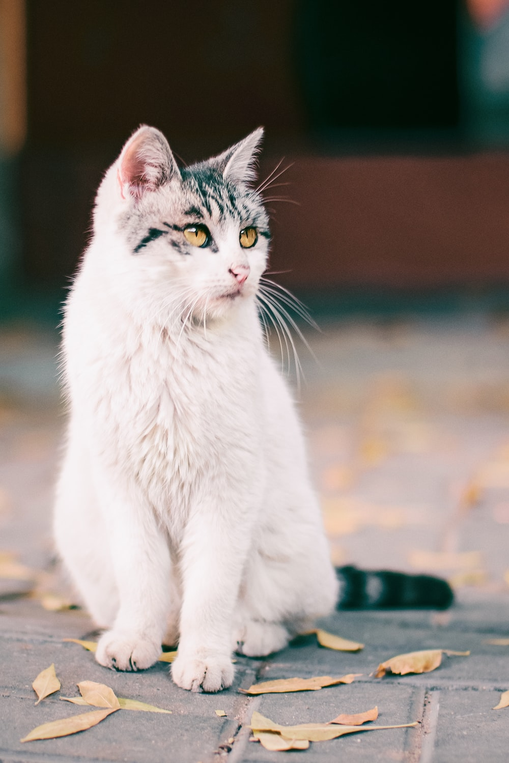 selective focus photography of sitting white and black cat